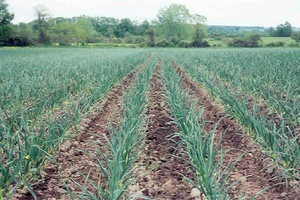 صورة زراعة الثوم خطوة بخطوة ..  موعد الزراعة و برنامج مقترح للتسميد