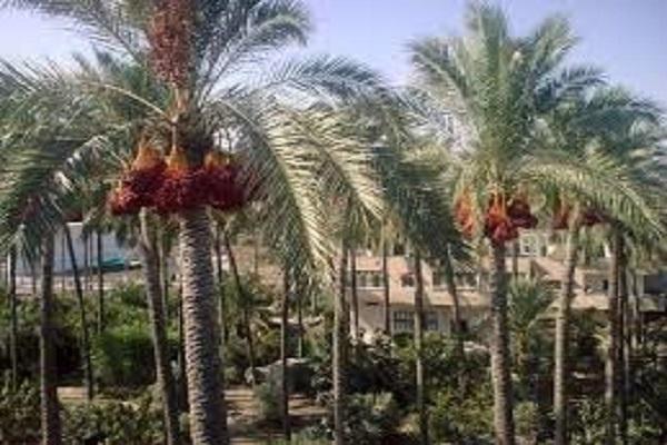 """صورة """" الفاو"""" تنفذ برنامج لتدريب 2000 مزارع لتطوير قطاع النخيل والتمور بمصر"""
