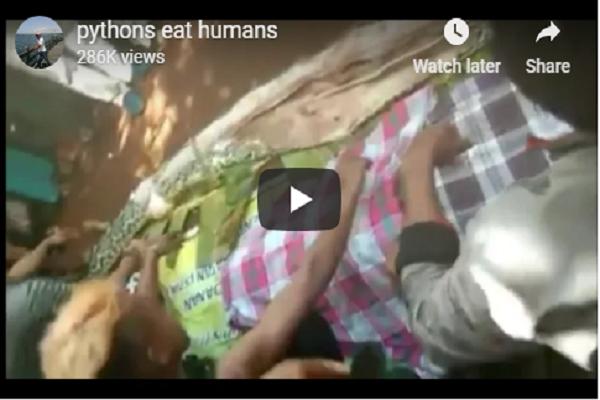 صورة فيديو ..العثور على جثمان سيدة ببطن أفعى
