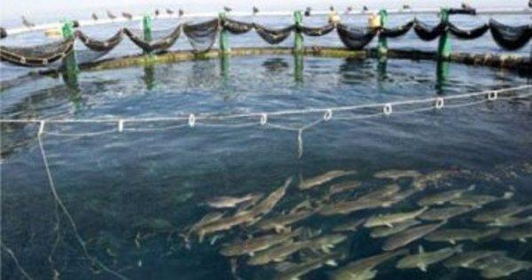 صورة الدكتورة عبير حسن تكتب : أمراض الأسماك البكتيرية فى المزارع السمكية
