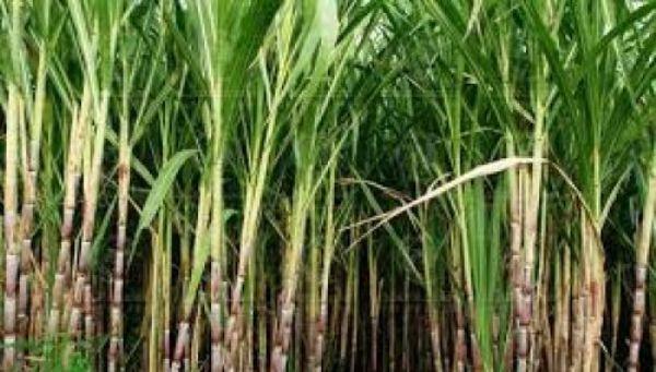صورة المنيا : حظر نقل محصول القصب خارج المحافظة لمدة ٣ أشهر