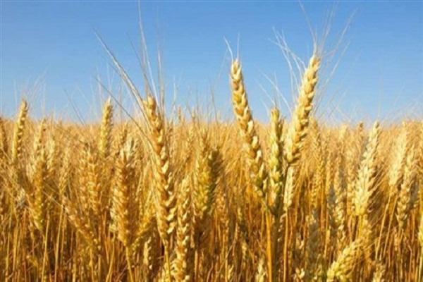 """صورة """"زراعة البرلمان"""" : تفعيل قرار الزراعات التعاقدية وإعلان سعر توريد القمح"""
