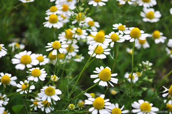 """صورة ننشر توصيات """"الزراعة """" للنباتات الطبية والعطرية لزيادة الإنتاج"""