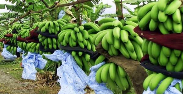 """صورة تعرف على إرشادات """" الزراعة """" لحماية حدائق الموز  وزيادة الانتاج"""