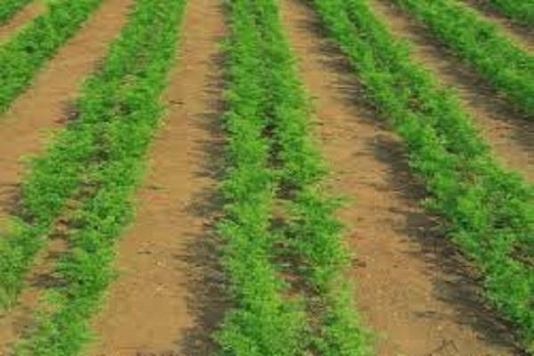 صورة محصول الجزر.. تعرف على مواعيد الزراعة وأفضل المعاملات وطرق التسميد