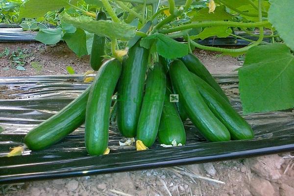 صورة تعرف على زراعة الخيار من البذره الي الحصاد