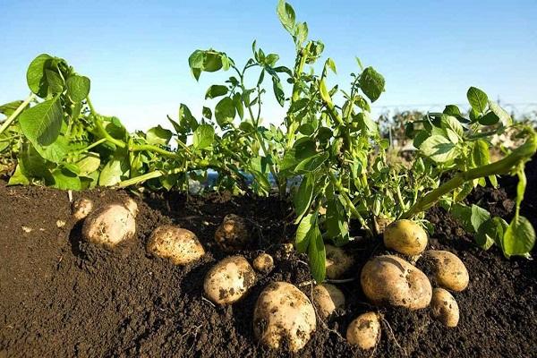 صورة من كيلو جرام  واحد تنتج 45 كيلو  .. تعرف على زراعة البطاطس فى المنزل