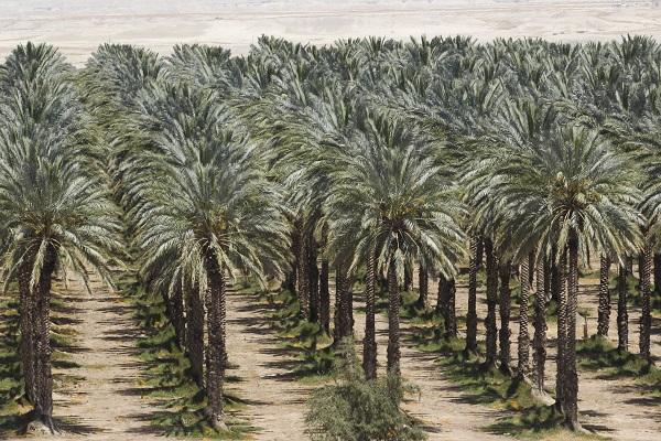 صورة من الزراعة حتى الحصاد .. خطة متكاملة للنهوض بصناعة النخيل