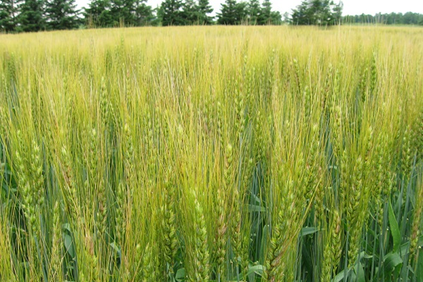 صورة السودان : برنامج للوصول بإنتاجية فدان القمح بمشروع الجزيرة إلى 1.5 طن