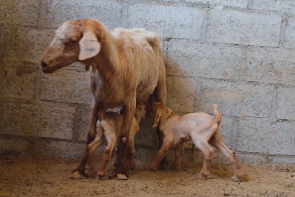 صورة موسم الولادة عند الاغنام والماعز .. نصائح وارشادات مهمة