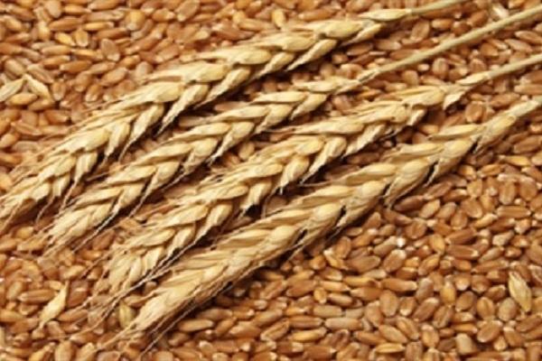 صورة زيادة إنتاج القــمح لـ 9.1 ملـيون طــن بنسـبة زيادة قدرها 6.2 ٪