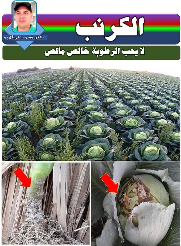 صورة لمزارعى الكرنب.. نصائح  الدكتور محمد فهيم لمواجهة زيادة الرطوبة