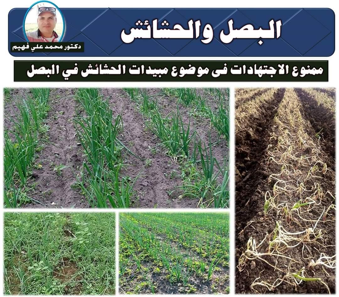 صورة الدكتور محمد على فهيم يكتب: أحذر الأخطاء القاتلة عند استخدام مبيد الحشائش مع البصل