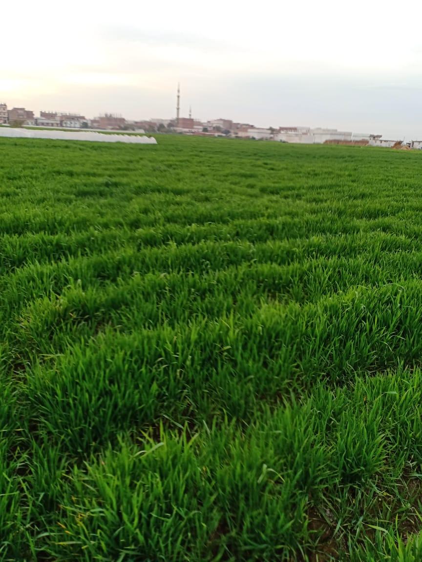 """صورة نقيب عام الفلاحين """"الصدأ والسابوس والسعر """"يهددون زراعة القمح بمصر"""