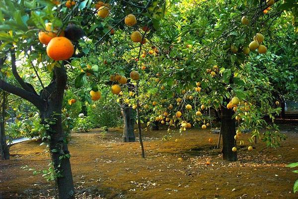 """صورة """"الزراعة"""" تصدر نشرة بالتوصيات الفنية لمزارعي محاصيل الموالح يجب مراعاتها خلال شهر مايو"""