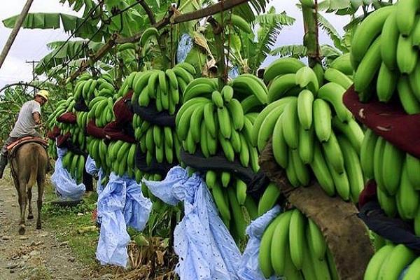 صورة لمزارعى المانجو والعنب والموز.. تعرف على نصائح وإرشادات شهر مارس للنهوض بهذه المحاصيل