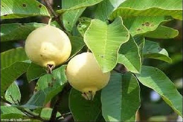 """صورة نشرة التوصيات الفنية لمزارعي """"الجوافة"""" خلال شهر ابريل"""