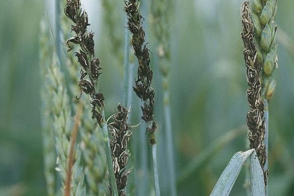 صورة مرض التفحم فى محصول القمح و الشعير ..  تعرف على العلاج وأفضل طرق المكافحة