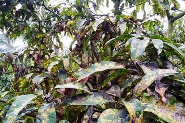 صورة لمزراعى المانجو .. تعرف على مرض البياض الدقيقى وطرق الوقاية و المكافحة