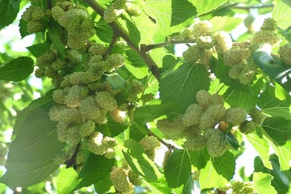 صورة شجرة التوت .. كل ما تريد معرفته عن موعد وطريقة الزراعة والفوائد الصحية الهائلة