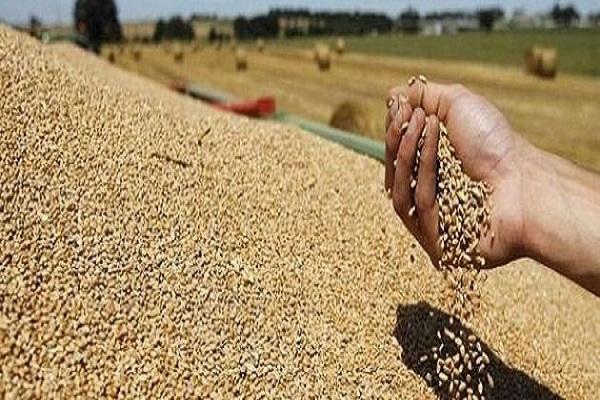 صورة بسبب كورونا .. اجراءات حكومية لتأمين احتياجات مصر من القمح ..وخبراء : تغيرات متوقعه عالميا