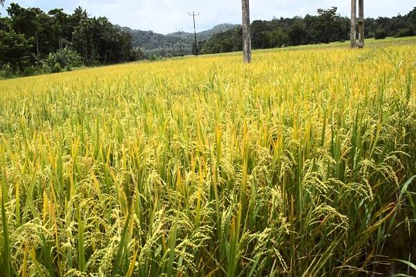 """صورة فى ظل الشح المائى.. """"أبوصدام """" يناشد المزارعين الالتزام بمساحات الأرز المقررة"""