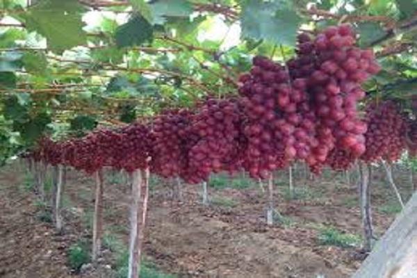 """صورة """"الزراعة"""" تصدر نشرة بالتوصيات الفنية لمزارعي العنب يجب مراعاتها خلال شهر اغسطس"""
