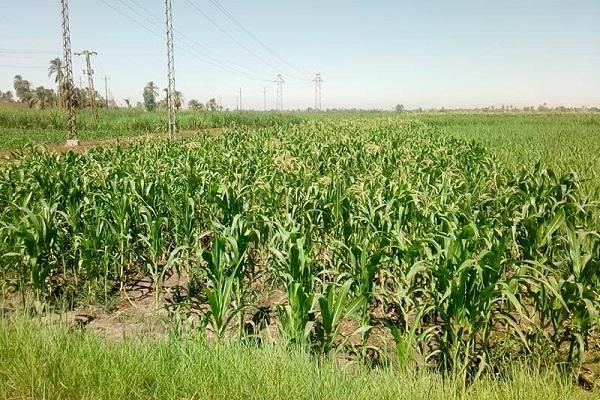 صورة طرق مكافحة الآفات الحشرية فى الذرة الشامية