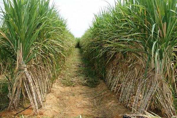 صورة لمزارعى قصب السكر .. تعرف على التوصيات للمحصول خلال شهر يونيو