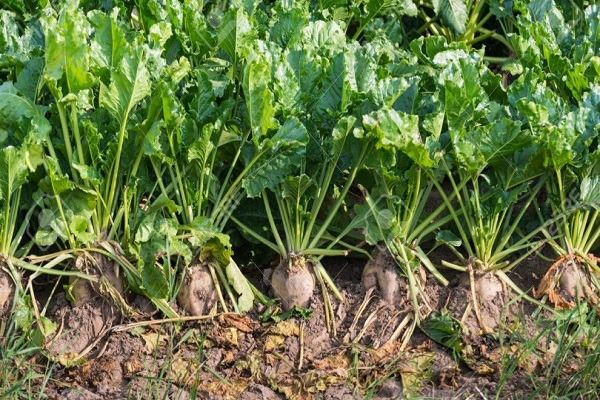 صورة لمزارعى بنجر السكر .. تعرف على التوصيات الفنية للنهوض بالمحصول خلال اغسطس
