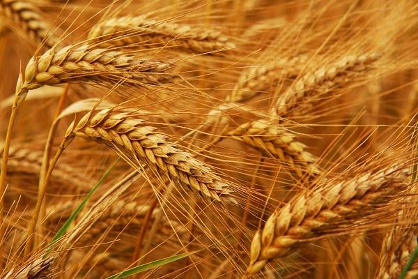 صورة مع زيادة انتاج القمح .. توقعات بارتفاع إنتاج المحاصيل الزراعية في أستراليا 2021/2020