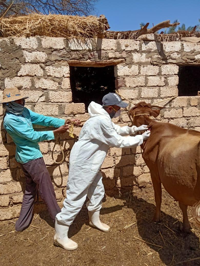 صورة بالصور.. الزراعة: تحصين أكثر من 2 مليون رأس ماشية ضد مرض الحمي القلاعية