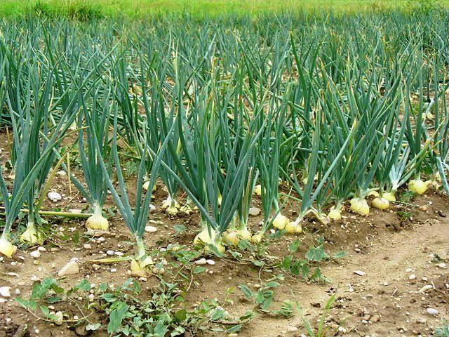 صورة لمزارعى البصل.. تعرف على التوصيات الفنية للنهوض بالمحصول خلال سبتمبر