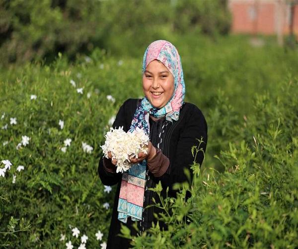 صورة حصاد الياسمين فى الغربية ..  العامل يجمع كيلو جرام يوميا و6 طن انتاجية الفدان  ..صور