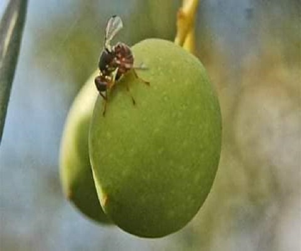 صورة ذبابة ثمار الزيتون.. أفضل طرق المكافحة ..صور