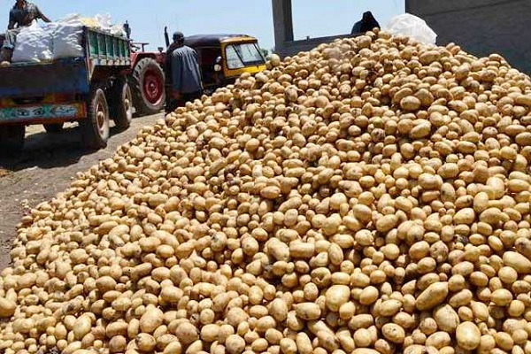صورة الزراعة تنتهى من أطلس أصناف البطاطس  وتطبيق خاصية التتبع حتى التصدير