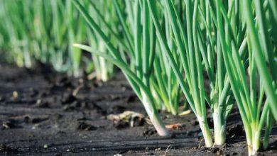 صورة لمزارعي محصول البصل.. تعرف على التوصيات الفنية للنهوض بالمحصول خلال شهر فبراير