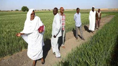 صورة السودان .. زراعة 168 الف فدان فى العروة الشتوية بالنيل الأبيض