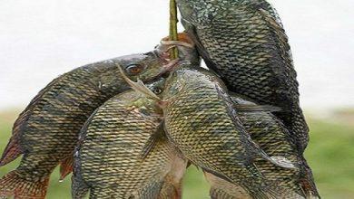 صورة البورى والبلطى .. اسعار الأسماك اليوم الثلاثاء 30 مارس 2021