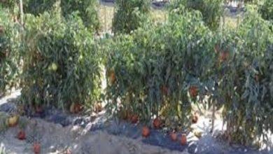 صورة وزارة الزراعة تحذر مزراعى الطماطم من التقاوى المغشوشة