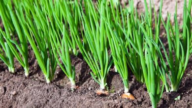 """صورة """"الزراعة"""" تصدر نشرة بالتوصيات الفنية لمزارعي البصل يجب مراعاتها خلال مارس"""