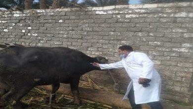 صورة الزراعة: تحصين أكثر من 1.8 مليون راس ماشية ضد مرض الجلد العقدي وجدري الاغنام