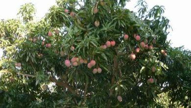 صورة توصيات فنية لمزارعي محصول المانجو يجب مراعاتها خلال شهر مارس .. تعرف عليها