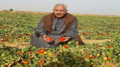 صورة ارتفاعاسعار الطماطم في نوفمبر القادم لهذا السبب!!