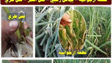 صورة رسائل الدكتور محمد فهيم للمزارعين.. أوجاع البصل