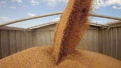 صورة اسعار القمح اليوم السبت 4 سبتمبر 2021