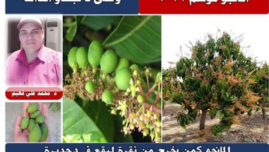 صورة الدكتور محمد على فهيم يكتب : أسباب تساقط ثمار المانجو.. وتوصيات مهمة لإنقاذ المحصول