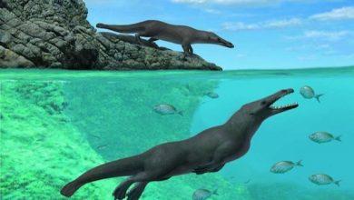 صورة تفاصيل اكتشاف حوت برمائى عاش فى مصر قبل 43 مليون عام