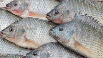 صورة سعر كيلو البلطى .. أسعار الأسماك اليوم الاربعاء 1 -9 – 2021 بسوق العبور