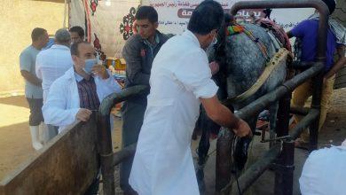 صورة الزراعة : 36 قافلة بيطرية لعلاج أكثر من 10 الاف رأس ماشية بالمجان بالغربية.. صور
